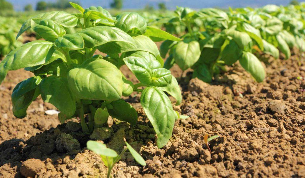 Coltivazione di basilico all'aperto